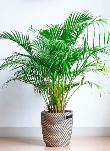 Areca Palm 1.8 Mt